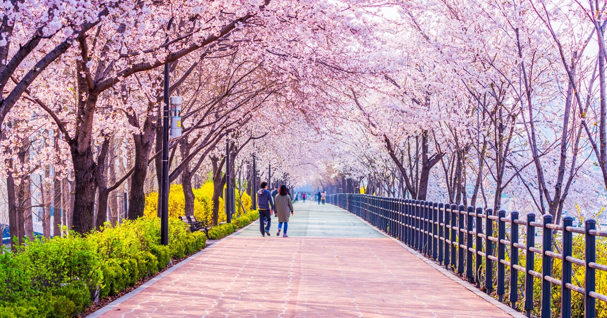 South Korea Jinhae Cherry Blossom